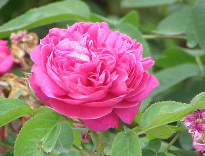 Aceite Esencial de Rosa para la Piel, Depresión y Hormonas