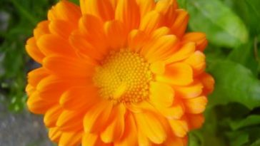 Aceite de caléndula, beneficios y propiedades