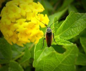 Aceite esencial de laurel insecticida